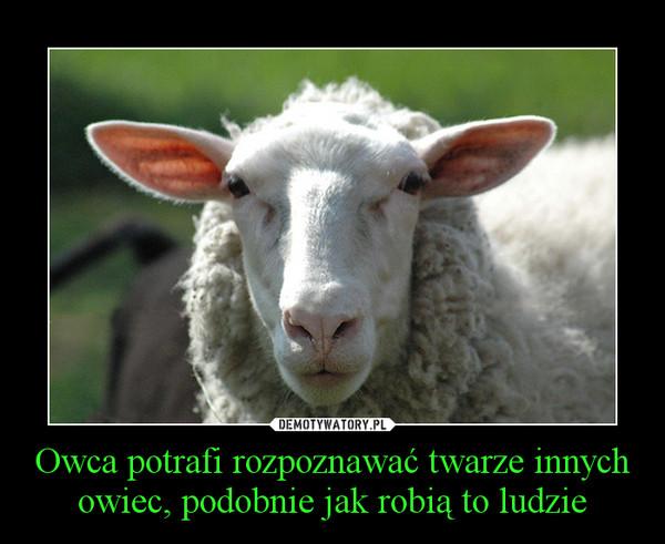 Owca potrafi rozpoznawać twarze innych owiec, podobnie jak robią to ludzie –