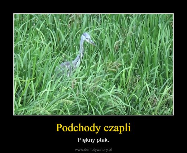 Podchody czapli – Piękny ptak.