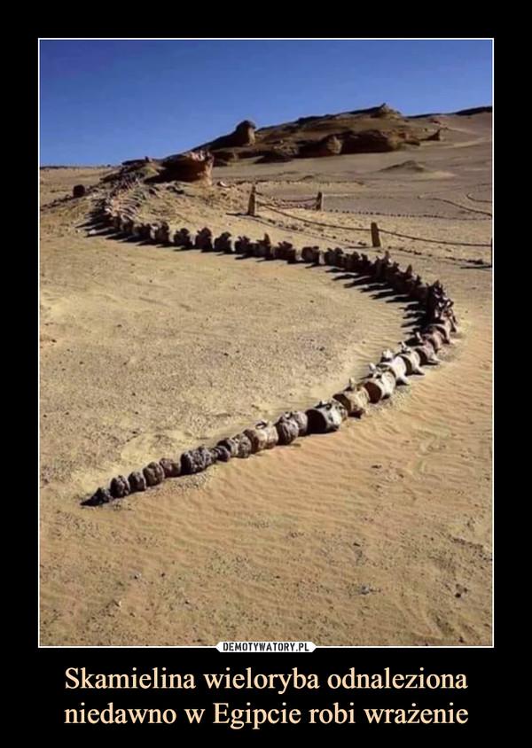 Skamielina wieloryba odnaleziona niedawno w Egipcie robi wrażenie –