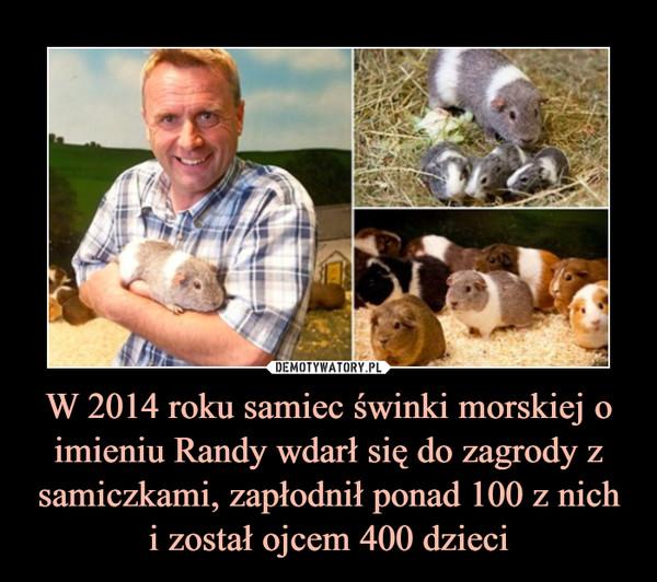 W 2014 roku samiec świnki morskiej o imieniu Randy wdarł się do zagrody z samiczkami, zapłodnił ponad 100 z nichi został ojcem 400 dzieci –