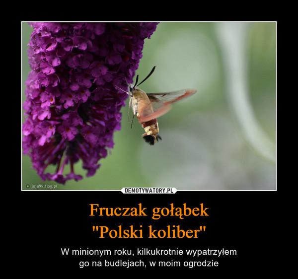 Fruczak gołąbek''Polski koliber'' – W minionym roku, kilkukrotnie wypatrzyłemgo na budlejach, w moim ogrodzie