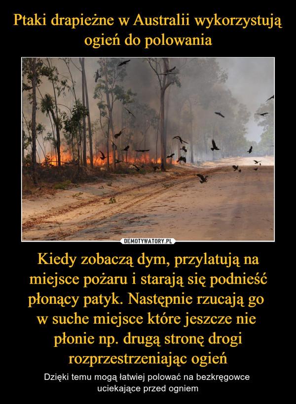 Kiedy zobaczą dym, przylatują na miejsce pożaru i starają się podnieść płonący patyk. Następnie rzucają go w suche miejsce które jeszcze nie płonie np. drugą stronę drogi rozprzestrzeniając ogień – Dzięki temu mogą łatwiej polować na bezkręgowce uciekające przed ogniem