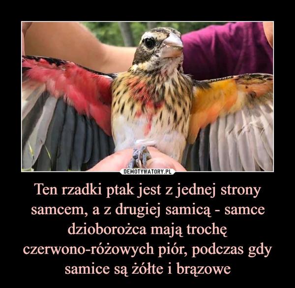 Ten rzadki ptak jest z jednej strony samcem, a z drugiej samicą - samce dzioborożca mają trochę czerwono-różowych piór, podczas gdy samice są żółte i brązowe –