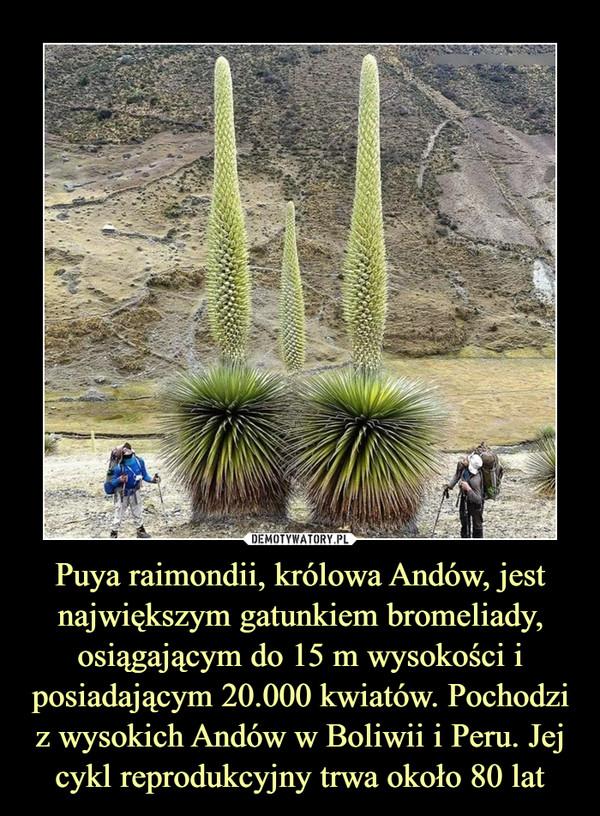 Puya raimondii, królowa Andów, jest największym gatunkiem bromeliady, osiągającym do 15 m wysokości i posiadającym 20.000 kwiatów. Pochodzi z wysokich Andów w Boliwii i Peru. Jej cykl reprodukcyjny trwa około 80 lat –