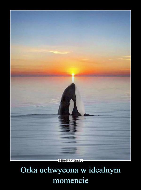 Orka uchwycona w idealnym momencie –