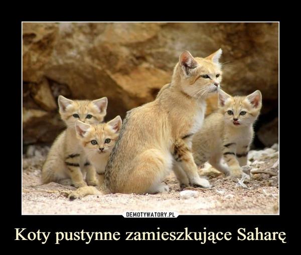 Koty pustynne zamieszkujące Saharę –